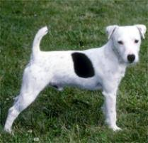 black and white jack russell terrier mix. Unique Jack Jack Russell Terrier Dog Breed Intended Black And White Mix