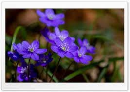wallpaper desktop widescreen flowers. Modren Flowers Purple Hepatica Spring Flowers Macro HD Wide Wallpaper For 4K UHD Widescreen  Desktop U0026 Smartphone Intended Desktop 4