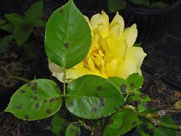 PLANTanswers: Plant Answers \u003e GRANDMA\u0027S YELLOW ROSE