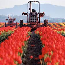 the roozen tulip farm c laurence chen