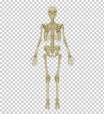 The Skeletal System Anatomical Chart Human Skeleton Human