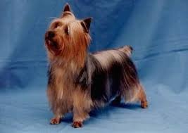 silky dog. the front left side of a black and tan silky terrier that is standing on dog