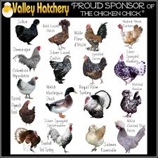 Chicken Breed Identification Chart Pictures To Pin On
