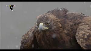 golden eagles flying. Interesting Golden On Golden Eagles Flying E