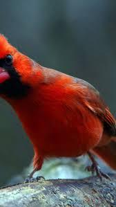 inquisitive cardinal iphone 6 wallpaper birds iphone 6 wallpapers birds iphone 6