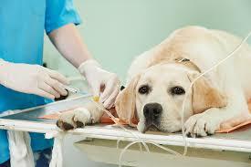 Lymphoma In Dogs Dr Ingrid Judge Pet Medical Center Fresno
