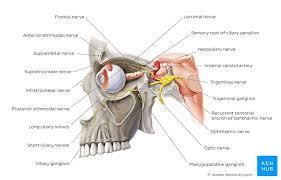 Branches Of Trigeminal Nerve Flow Chart Trigeminal Nerve Cn V Anatomy Function And Branches Kenhub