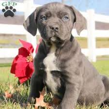 a cane corso puppy named marsha