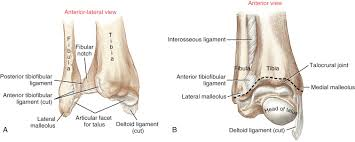 Medial Malleolus An Overview Sciencedirect Topics
