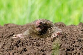 garden moles. Garden Editor Mike McGrath Says The Key To Ridding Your Yard Of These Friendly Pests Is First Know Difference Between Moles