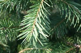 Evokative Life Oh Christmas Tree Oh Christmas Tree What Species What Kind Of Christmas Trees Are There
