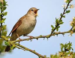 Image result for nightingale bird images