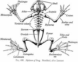 Small Picture 99 ideas Skeletal System Coloring Pages on kankanwzcom