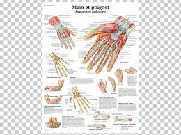 Hand Body Chart Anatomy And Pathology Wrist Hand Human Body Png Clipart