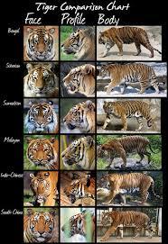 Big Cat Wild Cat Tiger Comparison Chart