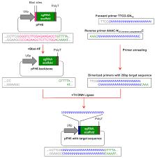 Subcloning Primer Design Generation Of Targeted Knockout Mutants In Arabidopsis