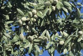 Does An Almond Tree Require A Second Tree To Pollinate