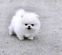 pure breed tcup pomeranian puppies for