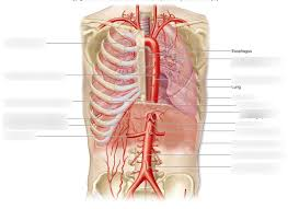 These exit the tailbone, or coccyx. Arteries Chest Diagram Quizlet