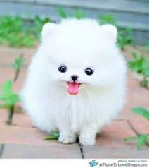 white teacup puppy. Fine Teacup White Teacup Pomeranian Puppy Do Not Mind Me For A Bit Im Sorry  Iu0027ll  Pinning Lot Of Puppies On White Teacup Puppy P