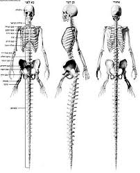 Учёные шутят Анатомия русалок Анатомия русалок скелет