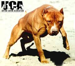 pitbull terrier fight. Contemporary Pitbull American Pit Bull Terrier Information And Pictures  United Canine  Association In Pitbull Fight