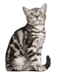 british shorthair tabby
