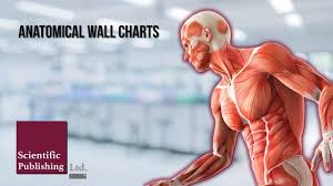Anatomical Wall Charts Home And Healthcare Facilities Anatomical Wall Charts
