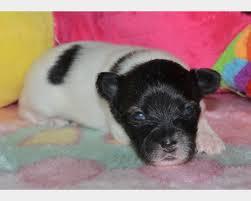 PAPILLON cuccioli cane - Epagneul Nano Continental