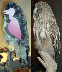 hawk without feathers. Unique Feathers What An Owl Looks Like Without Feathers In Hawk Without Feathers E