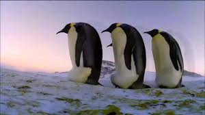 emperor penguin huddle. Perfect Huddle Emperor Penguins Huddle For Warmth Nature On PBS To Penguin M