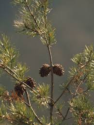 pine cones at the top of a small pine tree painting raymond gehman pine cones