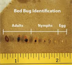 Bed bug sizes Actual Size Actual Size Bed Bug Pictures The Zappbug View Bed Bug Pictures In All Life Stages Zappbug
