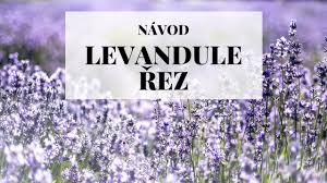 Image result for levandule