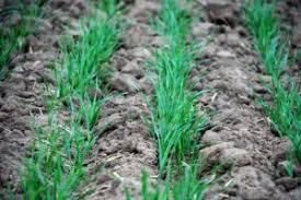 Пшеница ru Технология выращивания озимой пшеницы