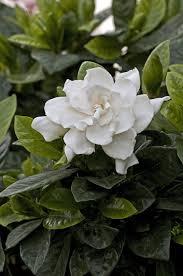 gardenia flower gardenia leaves shutterstock com new york ny