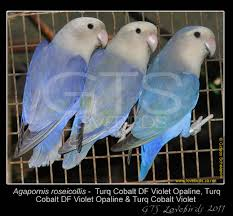 Mutations Genetics Gts Lovebirds