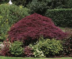 Small Picture Pruning Japanese Maples Fine Gardening