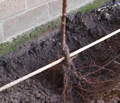 How And Why To Plant Fruit Trees In The Fall  Grow Your OwnPlanting A Fruit Tree