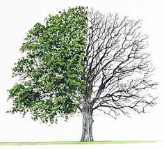 Oak Tree Comparison Chart Three Similarities Between Trees And Humans Frank Miller
