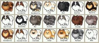 Pomeranian Weight Chart Burnettes Exclusive Pomeranians