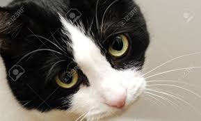 cute black cats with yellow eyes. Interesting Cute A Cute Black And White Cat With Sad Yellow Eyes Stockfoto  14254603 With Black Cats Yellow Eyes A