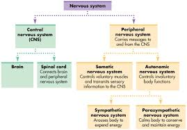 Flow Chart Of Nervous System In Human Beings Give The Flow Chart Of The Nervous System Of The Human