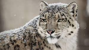 Leopard, Snow Leopard HD Wallpaper ...