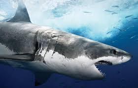 shark wallpaper hd. Wonderful Shark Shark HD Wallpapers  Fish Pictures Cool Throughout Wallpaper Hd Cave