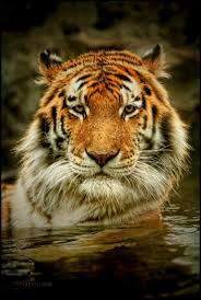 580 best Tiger images on Pinterest | Big cats, Wild animals and ...