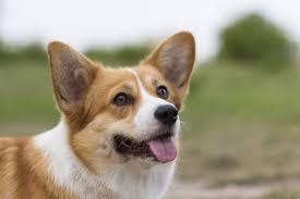 <b>Порода</b> собаки вельш-<b>корги</b>: характеристики, фото, характер ...