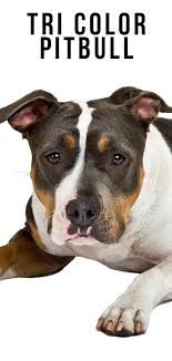Tri Color Pitbull Their Patterns Shades And Genetics