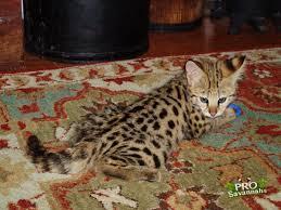 fifty 62 5 f1 savannah kitten image