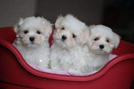 Teacup Maltese Growth Chart Teacup Maltese Dog Breed Information And Pictures